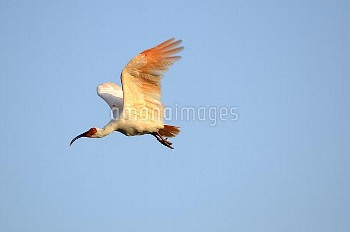 夕日に照らされて飛び出したトキ [Crested,Nipponia,Japanese,nippon,ibis]