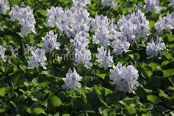 ホテイアオイ [WATER,crassipes,Eichhornia,Hyacinth]