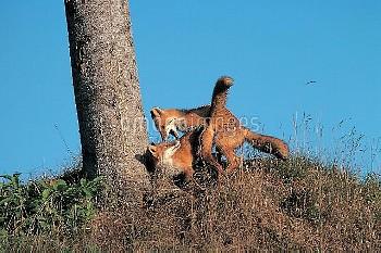 キタキツネの子分かれ:母親の攻撃を受ける子 [Red,fox,schrencki,Vulpes,Hokkaido]