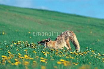 タンポポの咲く草原で伸びをするキタキツネ [Red,fox,schrencki,Vulpes,Hokkaido]