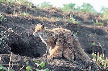 巣穴の前で子に授乳するキタキツネの母親 [Red,fox,schrencki,Vulpes,Hokkaido]