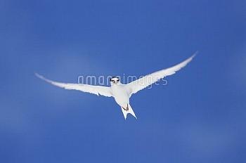 コアジサシ 飛ぶ [Sterna,albifrons,little,tern]