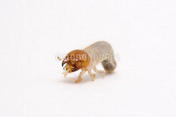 カブトムシの初齢幼虫 [horned,rhinoceros,dichotomus,Trypoxylus,Japanese,Beetle]