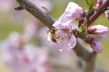 モモの花の受粉 セイヨウミツバチ [persica,Prunus,Peach]