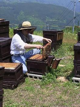ミツバチ(セイヨウミツバチ) 養蜂 蜂蜜の収穫 [mellifera,Apis,honeybee]
