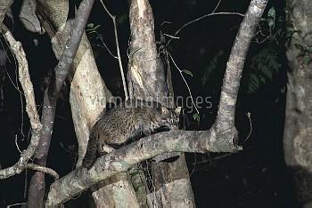 イリオモテヤマネコ 樹の上 [cat,Prionailurus,bengalensis,Iriomote,iriomotensis]