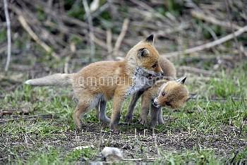 キタキツネの兄弟 [Red,fox,schrencki,VulpesHokkaido]