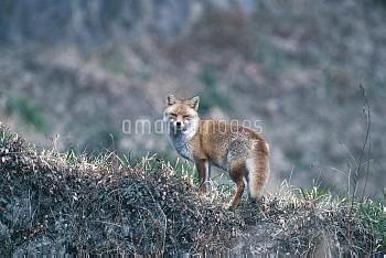 ホンドギツネ [japonica,Red,fox,Vulpes]