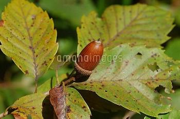 コナラの堅果 [Quercus serrata Murray,植物,被子植物,ブナ目,ブナ科,どんぐり]