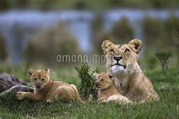 African lion (Panthera leo) lioness resting with her two playful cubs aged 1-2 months, Masai Mara Na