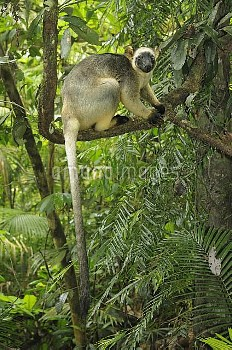 Lumholtz's Tree Kangaroo (Dendrolagus lumholtzi) female perched on tree branch.Queensland, Australia