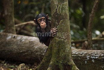 Western chimpanzee (Pan troglodytes verus)   infant male 'Flanle' aged 3 years playing around a tree
