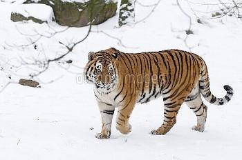 Siberian tiger (Panthera tigris altaica) walking in snow, captive