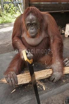 Bornean Orangutan (Pongo pygmaeus wurmbii) - 'Siswi' sawing a piece of firewood, Camp Leakey, Tanjun