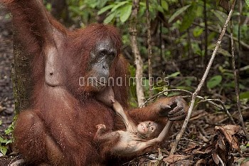 Bornean Orangutan (Pongo pygmaeus wurmbii) mother and baby playing,  Tanjung Puting National Park, B