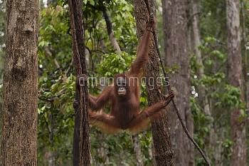 Bornean Orangutan (Pongo pygmaeus wurmbii) - juvenile. Tanjung Puting National Park, Borneo, Central