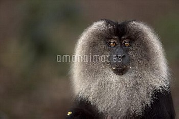 Lion-tailed macaque (Macaca silenus) female portrait. Anamalai Tiger Reserve, Western Ghats, Tamil N