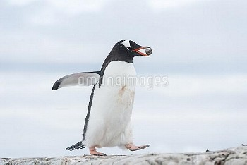 Gentoo Penguin (Pygoscelis papua) carrying piece of rock for building nest, as part of courtship, Pe