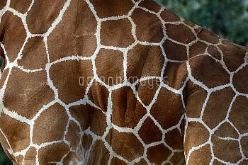 Close up of Reticulated giraffe (Giraffa camelopardalis reticulata) skin pattern, Samburu National R