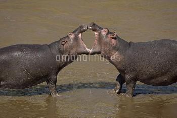 Hippopotamuses (Hippopotamus amphibius) fighting, Masai Mara, Kenya, Africa.