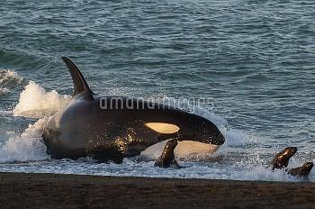 Orca (Orcinus orca) hunting sea lion pups along seashore, Punta Norte Provincial Reserve, Peninsula