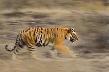 Male Bengal tiger (Panthera tigris tigris) known as 'Sundar' (B2) patrolling territory, Bandhavgarh