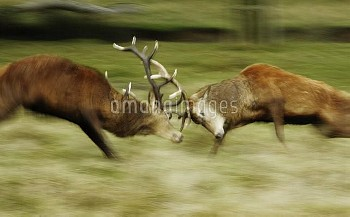 Red deer (Cervus elaphus) stags fighting. Surrey, UK, November.
