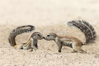 Ground squirrels (Xerus inauris) greeting, Kgalagadi Transfrontier Park, Northern Cape, South Africa