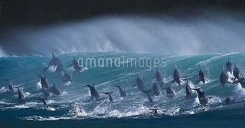Large pod of Bottlenose dolphins (Tursiops truncatus) porpoising over waves during annual  sardine r