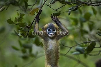Dusky leaf monkey (Trachypithecus obscurus) baby playing . Khao Sam Roi Yot National Park, Thailand.