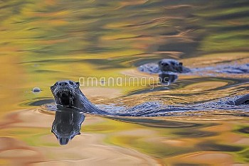 North American river otter (Lontra canadensis) two in water with autumnal trees reflected in the wat