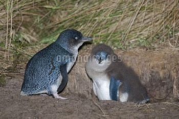 Little blue / fairy penguin (Eudyptula minor) adult and chick at nesting burrow, Neck Game Reserve,