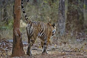 Bengal tiger (Panthera tigris tigris) female scent marking, Bandhavgarh, India.