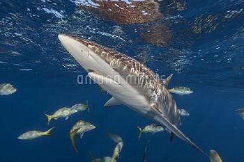 Silky shark (Carcharhinus falciformis) Jardines de la Reina / Gardens of the Queen reefs, South Cuba