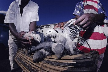 African grey parrot nestlings for sale in market. Goma Town. {Psittacus erithacus} DR of Congo