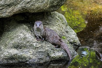 European river otter (Lutra lutra) sitting on rock, Bavarian Forest National Park, Germany, May. Cap