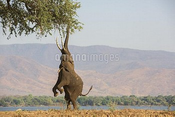 African elephant (Loxodonta africana) standing on hind legs to feed on tree,  Mana Pools National Pa