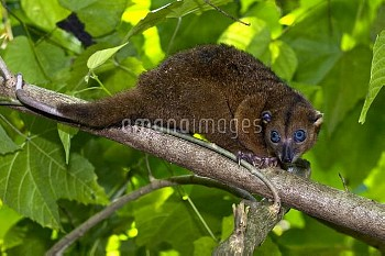 Sulawesi dwarf cuscus