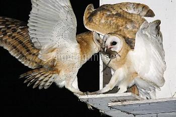 Barn owls feeding on a rat