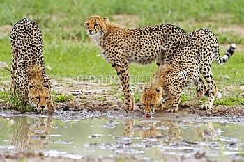 Cheetahs at a watering hole