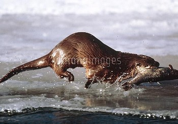 Canadian otter, Lutra canadensis, carryin
