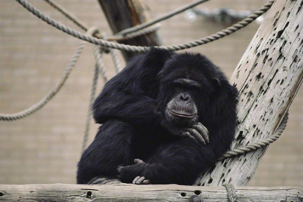 産後のセックスレスの原因は、現代夫婦の「チンパンジー化」にある!?の画像1