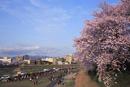 足羽川桜並木の夕暮れ