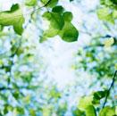 ふうの木の新緑