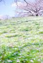 丘の斜面と桜