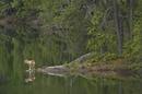 湖岸のタイリクオオカミ
