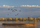 ハクガンの池の上を飛ぶカナダヅル