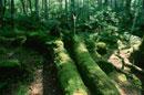 苔の原生林 8月 八ヶ岳 長野県