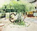 中庭に咲く白いモッコウバラ