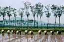 一列で笠姿の田植えをする人 新潟  1961年